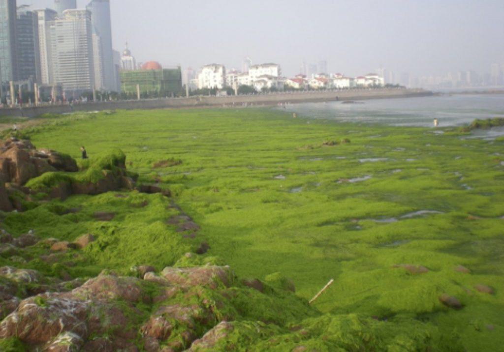 Green_tide_Qingdao - Dongyan_Liu-copy