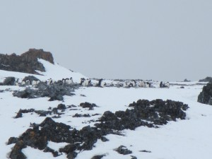 The first penguins have returned to their spring rookeries Torgersen Island, one of the many rocky islets offshore of Palmer Station.
