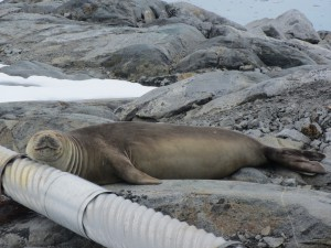 While it prevented LTER scientists from getting into the field until mid-December, the persistent sea ice was no obstacle for an elephant seal that climbed up onto the rocks surrounding the station on Dec. 12.