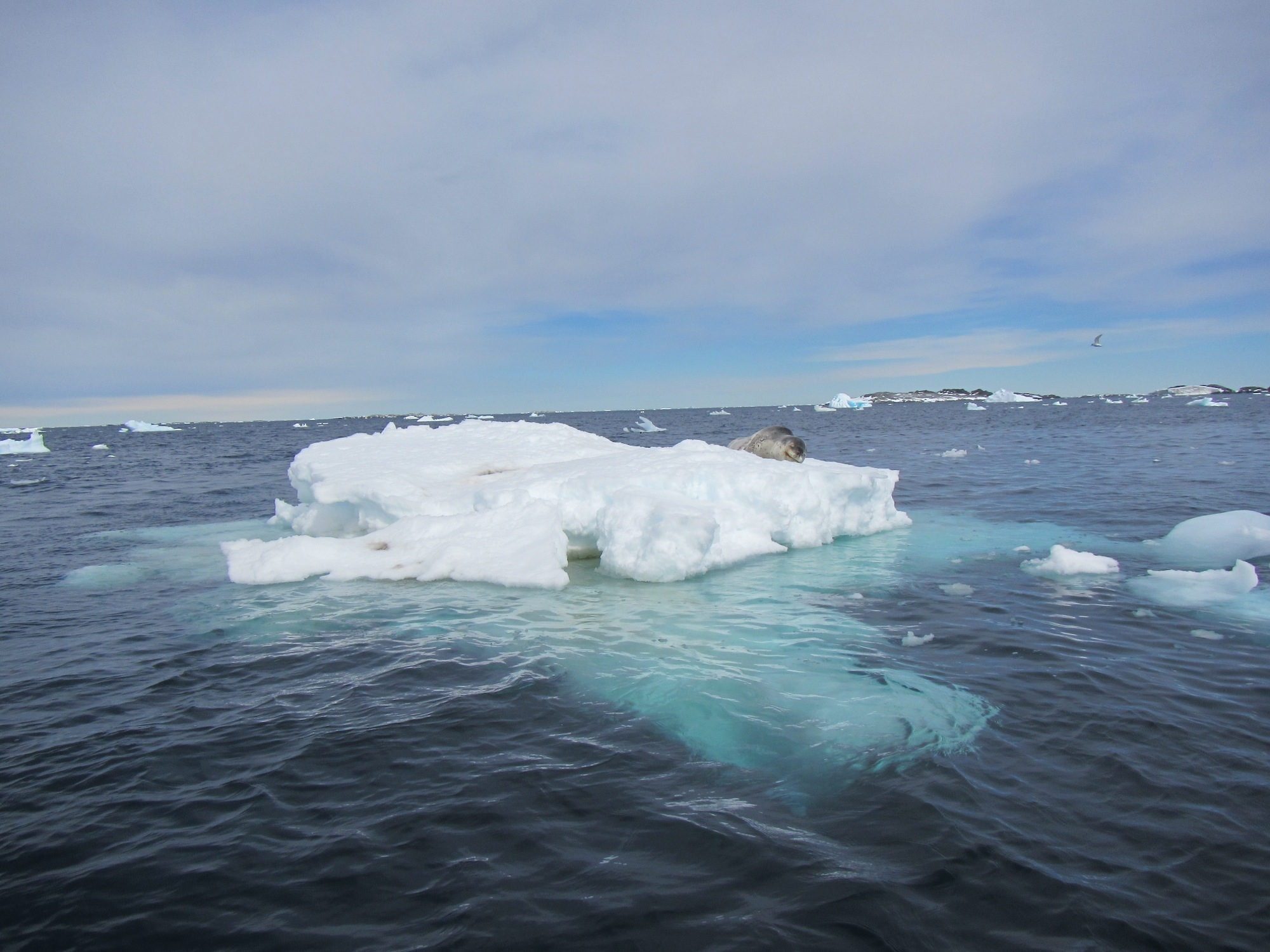 A leopard seal hauled out on an ice floe.