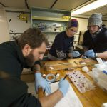 Matteo Ichino from the National Oceanographic Center in Southampton, U.K., records data from a snailfish being dissected by Mackenzie Gerringer and Thomas Linley. (Photo by Ken Kostel, Woods Hole Oceanographic Institution)