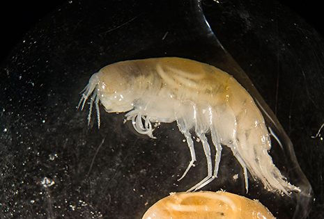 This hadal amphipod is infected with juvenile parasitic nematode worms (the white structures in the animal's side). Scientists are working to understand the life cycle of the worms and their effects on their amphipod hosts. (Photo by Jeff Reed, Montana State University)