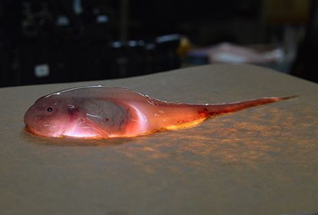 Scientists placed this snailfish on a lightbox to highlight the fact that its body is translucent. The big, dark blob in the middle of the fish is its liver. Before this cruise to the Kermadec Trench, only about 10 snailfish, the deepest known fish in the ocean, existed in collections around the world. Now there will be 45 more. (Photo by Jeff Reed, Montana State University)