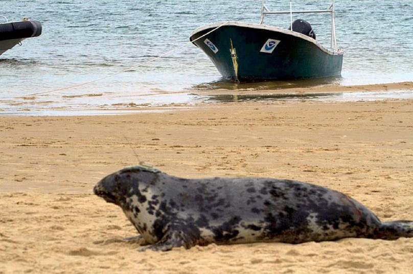 First capture and tagging of adult gray seals in U.S. waters
