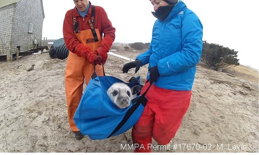 Tagging Gray Seal Pups