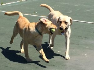Hugger (right) teaching Sandy to play fetch (Photo by Katie Samuelson)
