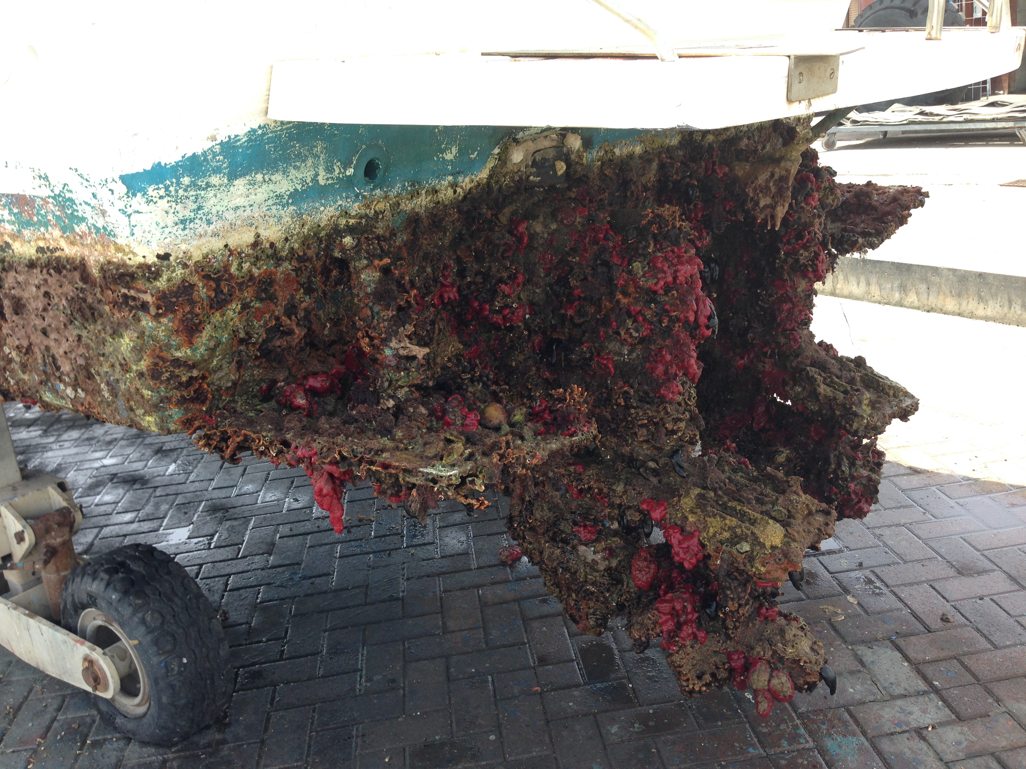 Invasive ascidians on a boat hull, Ashqelon, along the Mediterranean coast of Israel. (Photo by Mey-Tal Gewing)