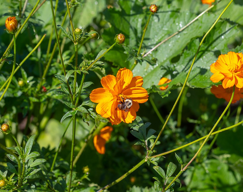 Bee on a Coreopsis